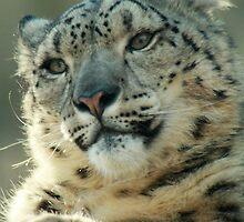 Snow Leopard in February by starbucksgirl26