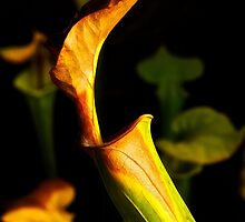 Pitcher Plant by Jeffrey  Sinnock