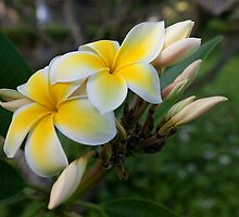 Yellow Plumeria Blooms (Poipu, Kauai, Hawaii) by Brendon Perkins