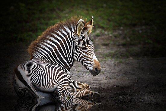 Zebra Baby by Kathy Cline