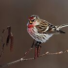 Common Redpoll Perched on Alder Catkins by Bill McMullen