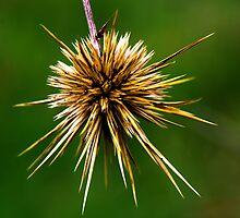 Echinops polyceras by andrachne