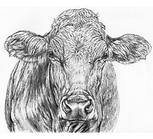Cow Sketch Photographic Print