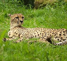 Cheetah, lazy but alert by steppeland