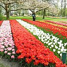 Netherlands Flowers by ZanHanhof