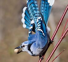 Blue Jay on dogwood by PixlPixi