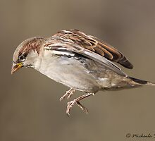 House Sparrow in flight by Michaela Sagatova