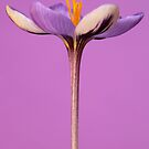 Crocus 7 by Brian Haslam