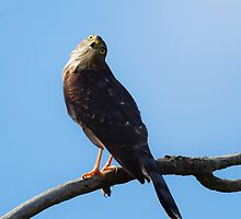 Sharp-shinned Hawk by PixlPixi