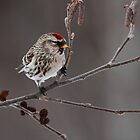 Redpoll on Alder by Bill McMullen