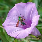 Green metallic bee on Ruellia by Ben Waggoner