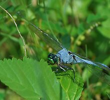 Blue dragonfly on a leaf by Ben Waggoner