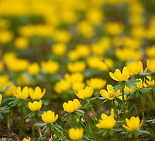 Winter Aconite by Skye Hohmann