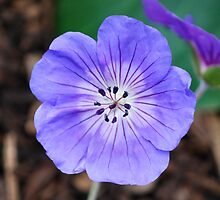 Cranesbill by Alison Frost