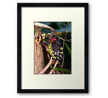 Just Born Cairns Birdwing - Ornithoptera euphorion Framed Print