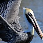 Blue Eyed Pelican by Joe Jennelle