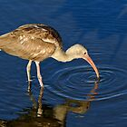 Juvenile White Ibis Making Concentric Circles by Joe Jennelle