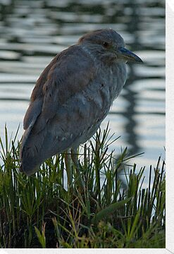Night Heron by Ed Hamlin