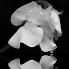 Sweetpea in the Rain by AnnDixon