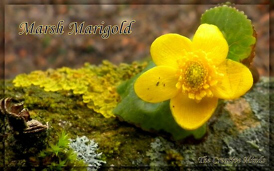 Marsh Marigold  by ©The Creative  Minds