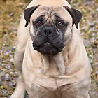 Say Hello To Foster - Bullmastiff by Blitzer