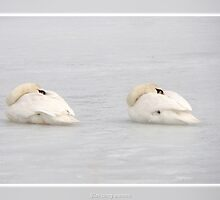 Sleeping swans by Poete100