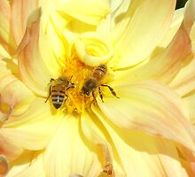 Bees dance on a dahlia by Kate Farkas