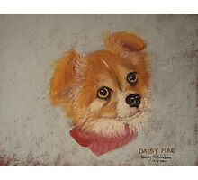 Daisy Mae - long-haired Chihuahua Photographic Print