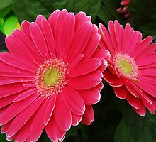 Hot Pink Gerbera daisies by Poete100