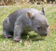 This is harder than it  looks --- Tunna the baby wombat , now 2 Kg and  looking good by Ron Co