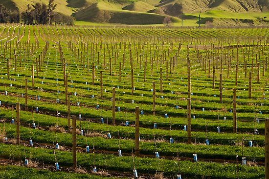 Marlborough Vineyard 2 by fotoWerner