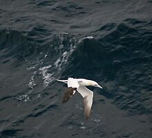 Gannet on The Bay of Biscay by Keith Larby