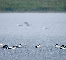 Eider Ducks in Heavy Rain by Tim Collier