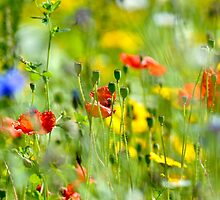 Summer Meadow, Wales by Tim Collier