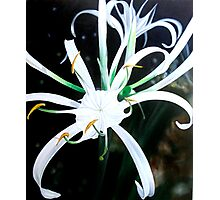 """""""Floral Fireworks"""" - exploding white lily blossoms Photographic Print"""