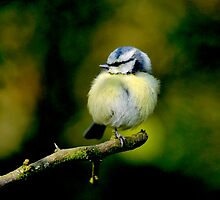 Young Blue Tit by Tim Collier