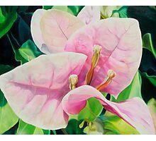 """Blushing Bugambilia"" - pink bougainvillea blossoms Photographic Print"