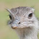 Ostrich, (Struthio camelus) by ©FoxfireGallery / FloorOne Photography
