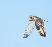Short Eared Owl inflight by Wayne Wood