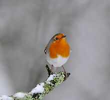 Robin and Snow by Tim Collier