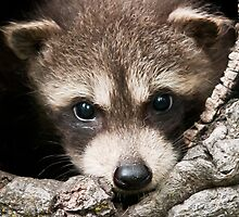 Racoon Kit by kudzu