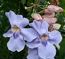 The Blue Trumpet Vine  by Ann Garrett