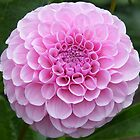 Pink flower by MartynJames