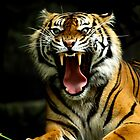 Sumatran Tiger with Teeth by Steve Munro