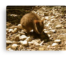 Wallaby in Cairns Canvas Print