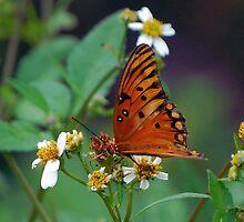 Orange butterfly on Spanish Needles by Ben Waggoner