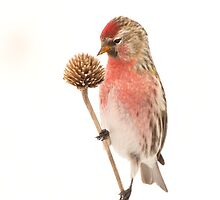 Common Redpoll by Wayne Wood