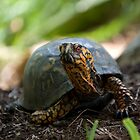 Red Eyed Turtle  by Shayna Sharp