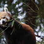 Red Panda Lunch Time  by Shayna Sharp