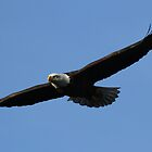 Majestic Bald Eagle Flight by DARRIN ALDRIDGE